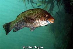 ballan wrasse taken at st. abbs marine reserve north sea ... by John Naylor 